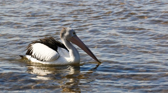 Who can, a Pelican