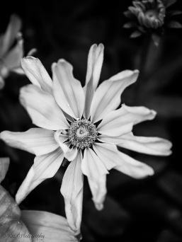BW flower