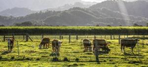 cow-paddock
