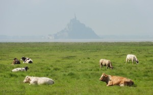 cattle-mont-st-michel