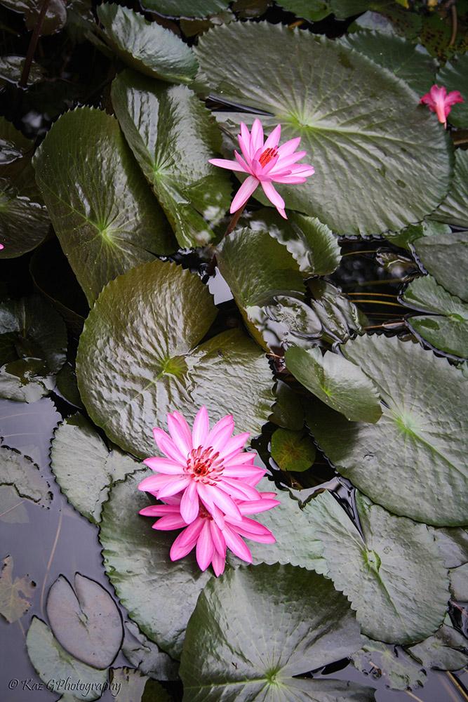 Hoi-An-flower