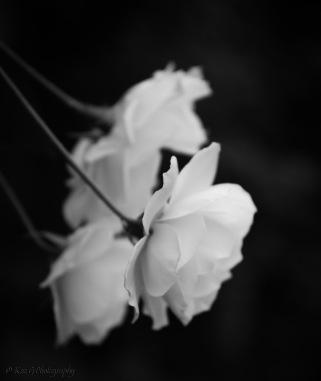 Rose of Singapore