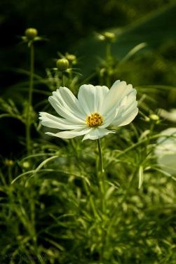 singapore-flower