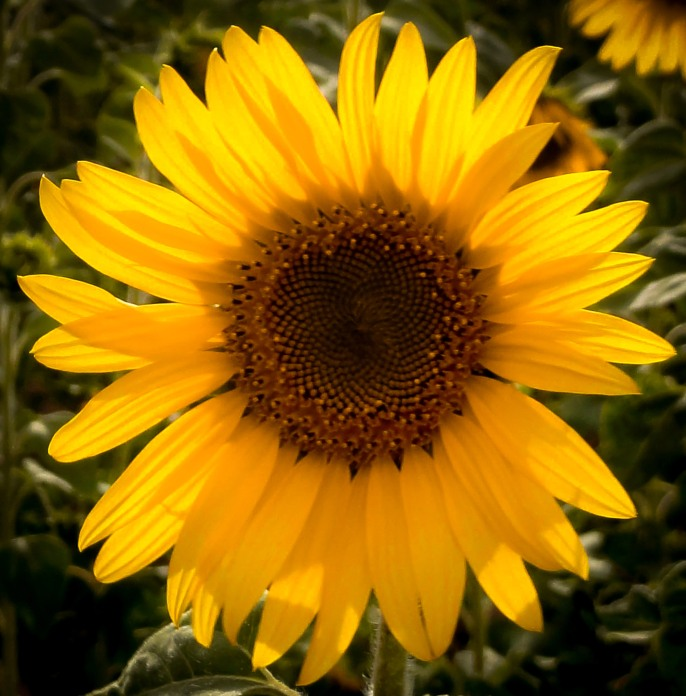 sunflower-provence-france