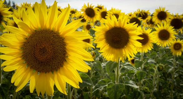 sunflowers-provence-france