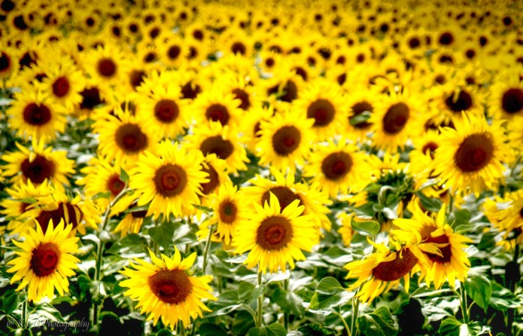 sunflowers-provence-france3