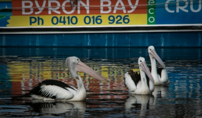 Pelicans-on-Brunswick-2