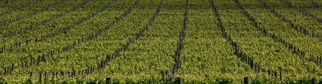 grape-vines-crop-mclaren-vale