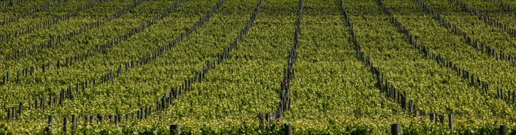 grape-vines-crop-mclaren-vale