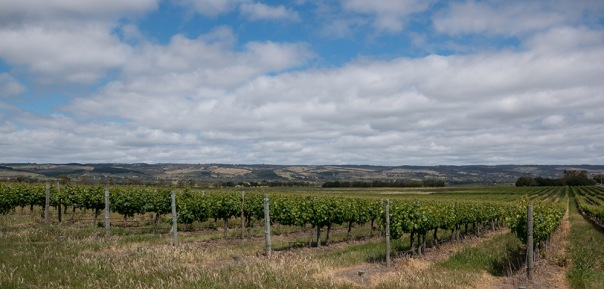 grape-vines-mclaren-vale