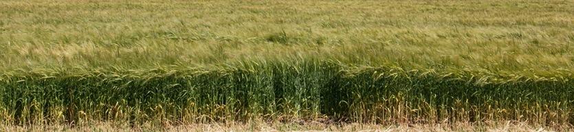 grass-blowing-crop