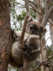 koala-KI