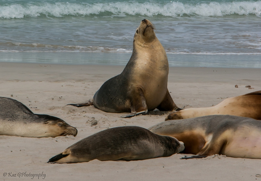 Seals at Seal Bay