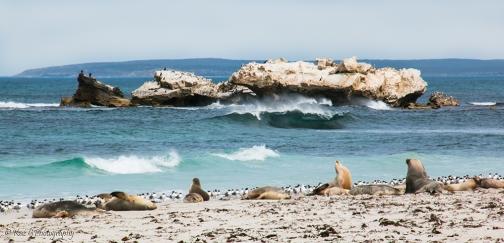 Seal Bay KI 2