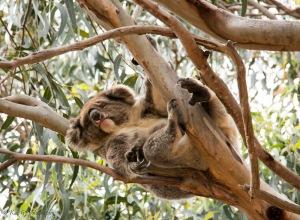 koala-K