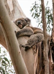 Koala-KI2