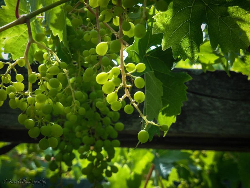 grape-vines-villandry