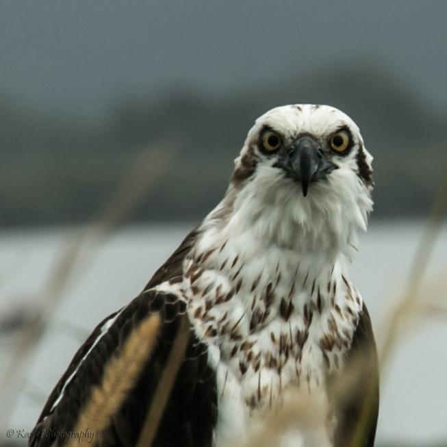osprey-ballina2