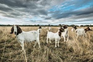 goats-gulgong