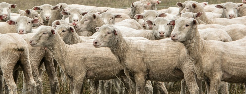 mob of sheep
