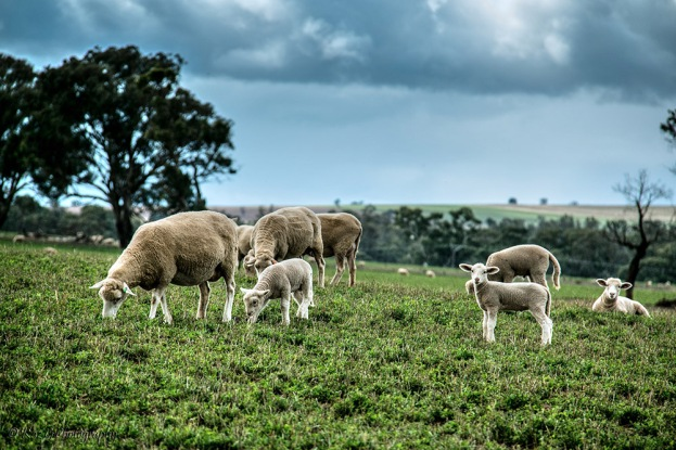 sheep-paddock-gulgong