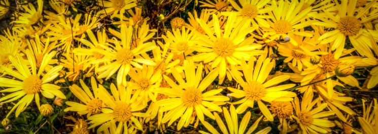 daisies of Hill End-1