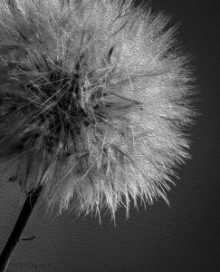 dandelion- study-of