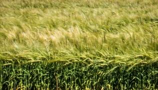 grass-mclaren-vale