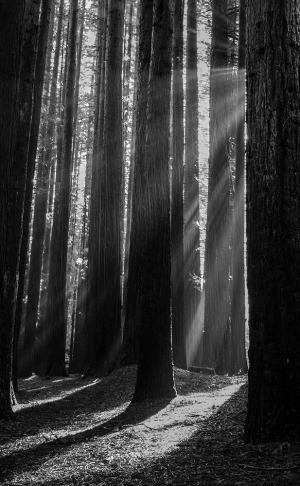 Redwoods-victoria
