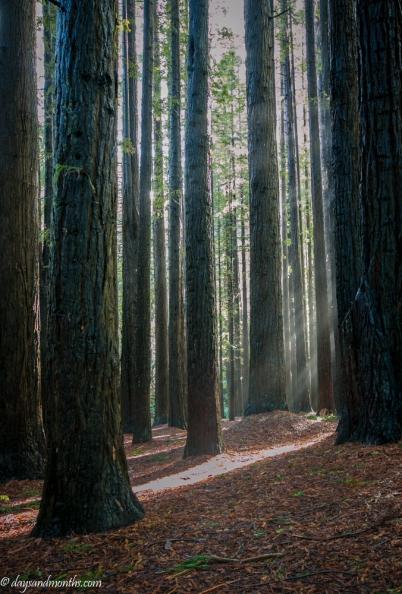 Mist through the cedars
