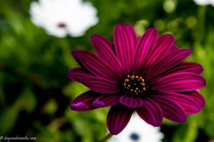 daisy-spring