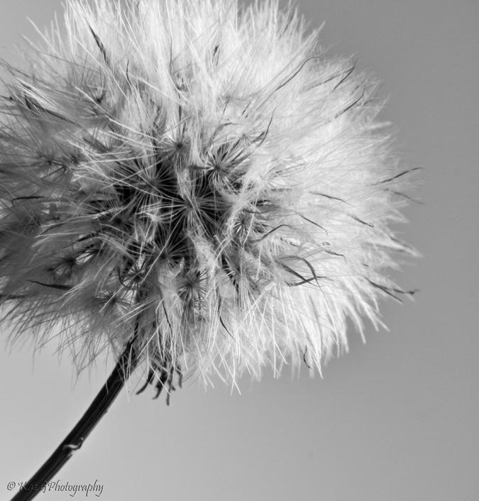 dandelion BW