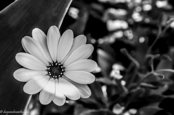 lazy-daisy
