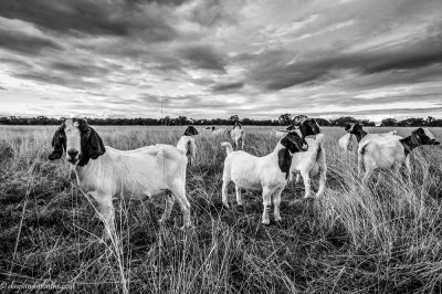 goats-in-paddock-central-tablelands-NSW-1