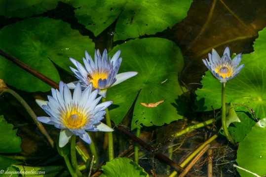 waterlillies-cabarita-lake (1 of 1)