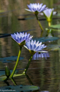 waterlily on lake (1 of 1)