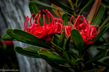 flora-cradle-mountain3-