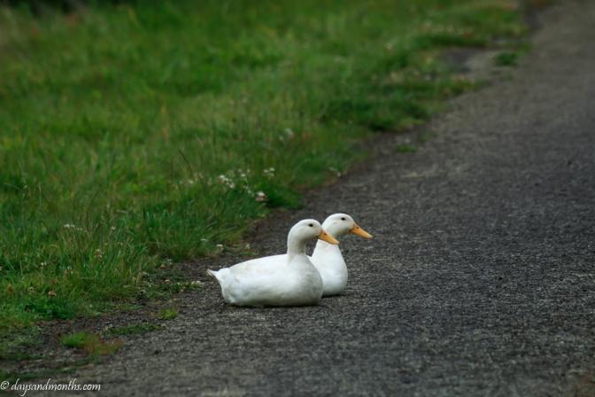 guard ducks2-0289