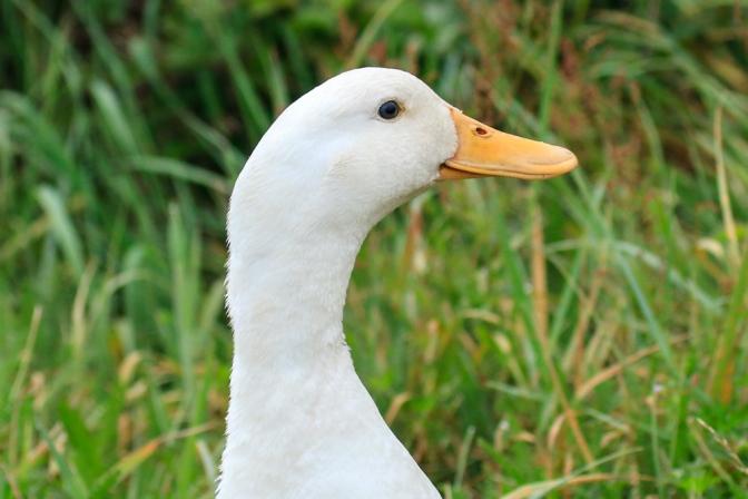 guard ducks3-0296